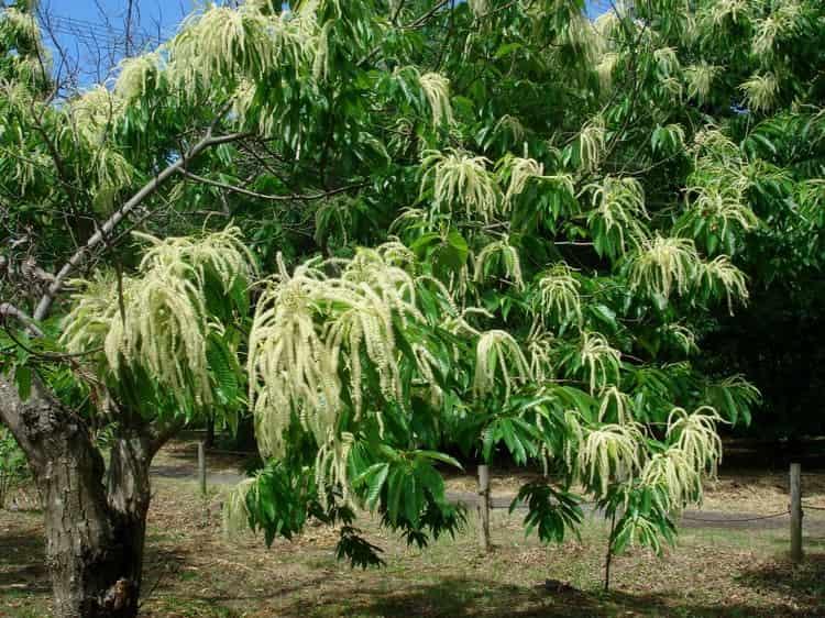 Вот так выглядит дерево, плоды которого пригодны для еды.