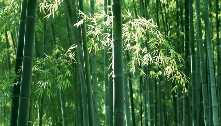 Полезные свойства бамбука ни для кого не новость.