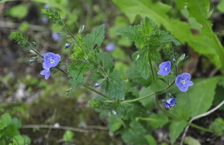 Вероника лекарственная используется при лечении кашля и бронхита.