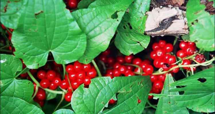 Адамов корень полезные свойства растения