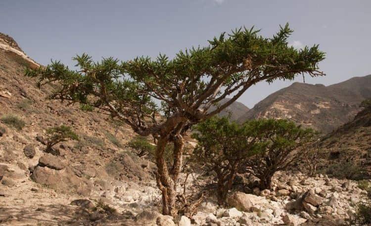 Так выглядит реликтовое дерево босвеллия.