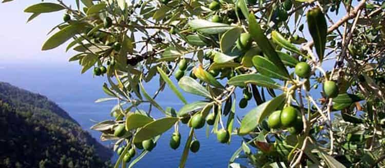 Свойства и применение оливы