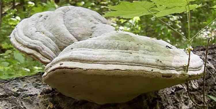 Агарикус полезные свойства растения