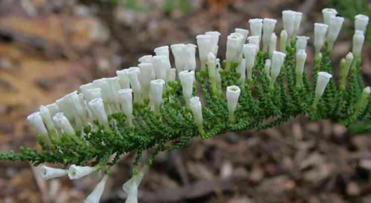 Фабиана растение полезная информация