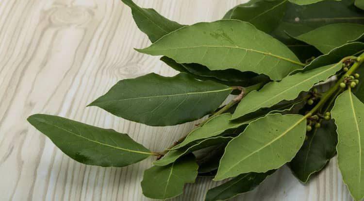 Лавровый лист: лечебные свойства и противопоказания, польза и вред