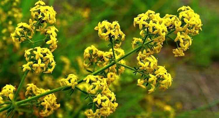 Подмаренник свойства и польза растения