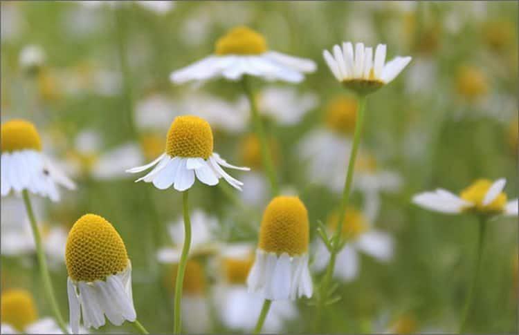 Польза, лечебные свойства и противопоказания к употреблению ромашки
