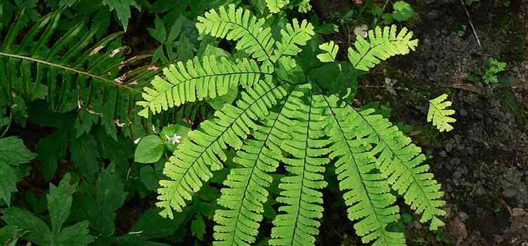 Адиантум характеристика растения