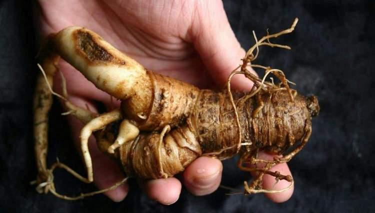 Считается, что корень мандрагоры обладает магическими свойствами.
