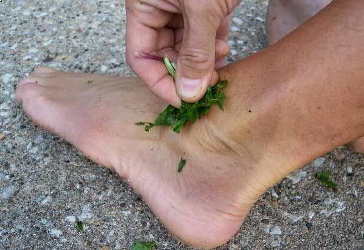 Как использовать рдест при ране