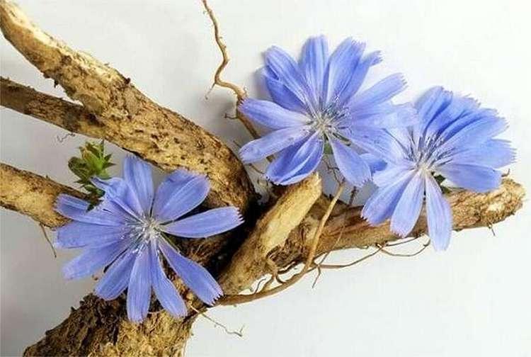 Корни растения измельчают и сушат.