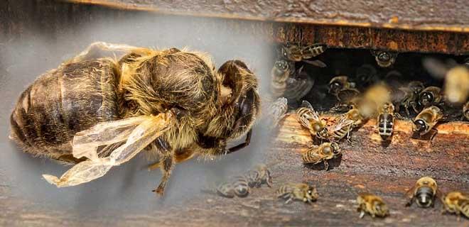 Паралич пчел