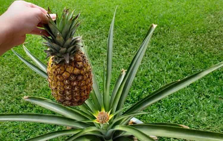 Польза, лечебные свойства и применение ананаса для похудения