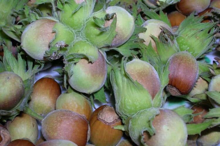 Пользу приносят и орехи лещины, но съев их слишком много, можно нанести вред организму.