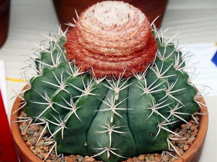 Очень красивыми являются Цереусовые кактусы.