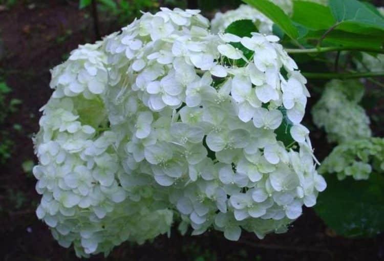 Гортензия это не просто красивый кустарник, но еще и очень полезное растение.