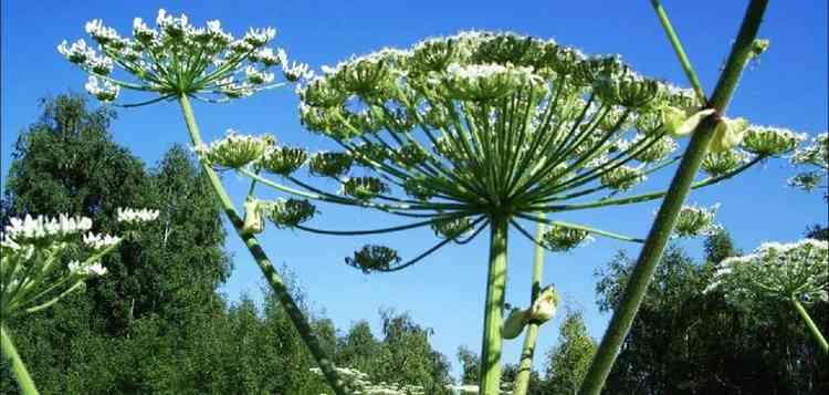 Борщевик полезные свойства растения
