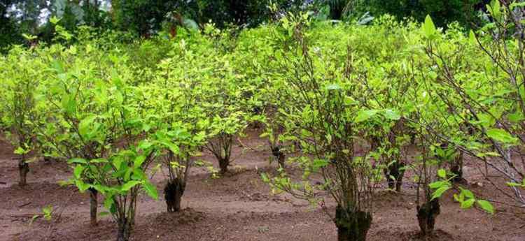 Как выращивают кокаиновый куст