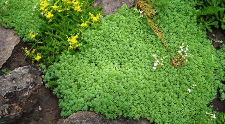 Трава очитка от гемороя