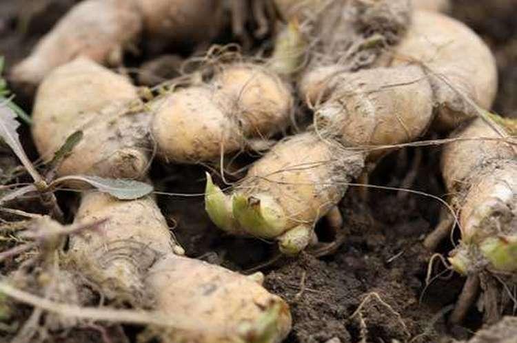 Лечебные свойства растения сосредоточены именно в корнях ириса.