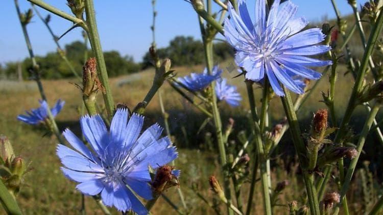 Узнайте все о полезных свойствах травы цикорий и противопоказаниях к ее употреблению.