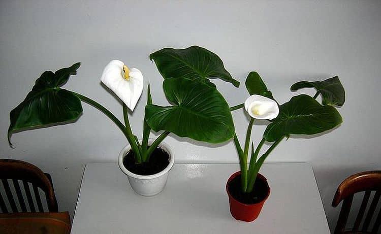 Калла может принести не только пользу, но и вред, поскольку в растении содержится яд.