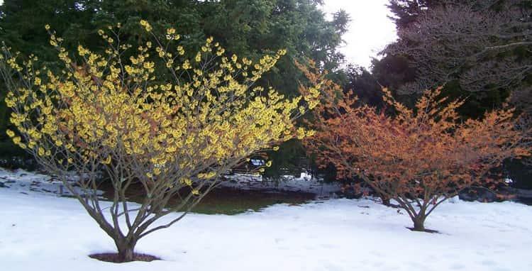 Гамамелис является удивительным растением, ведь может цвести даже в снег и мороз.