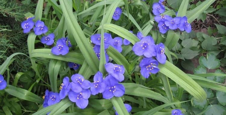 Традесканция это довольно-таки популярное растение, как комнатное, так и садовое.