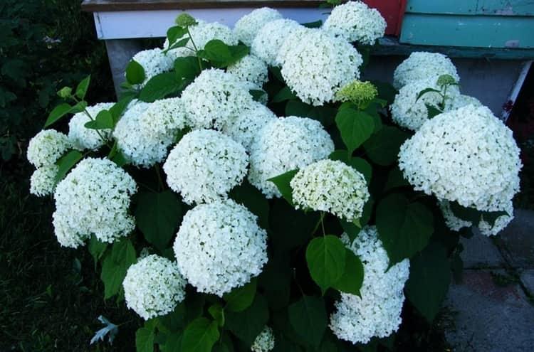 В выращивании гортензия неприхотлива, она украшает дворы многих садоводов.