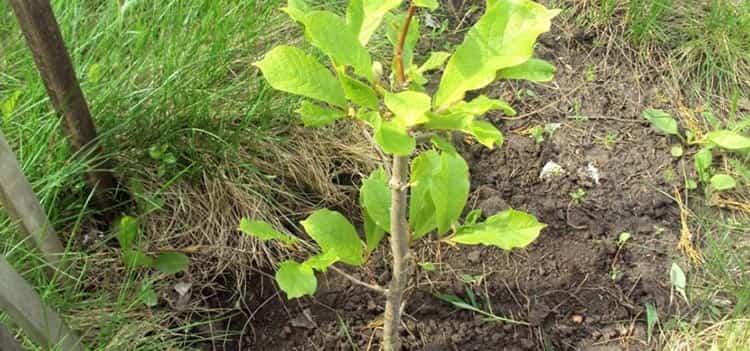 Выращивание магнолии в собственном саду