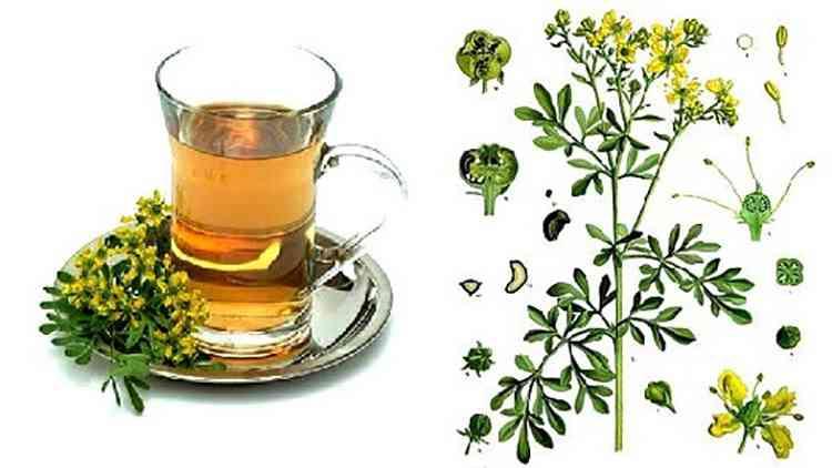 Рута душистая польза чая из растения