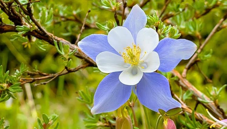 Водосбор и сам по себе является чрезвычайно красивым цветком.