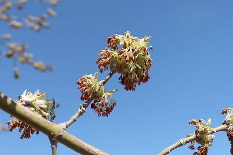 О свойствах дерева ясень народной медицине известно уже давно.