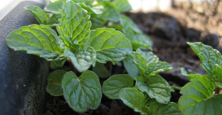 Как вырастить мяту в собственном саду
