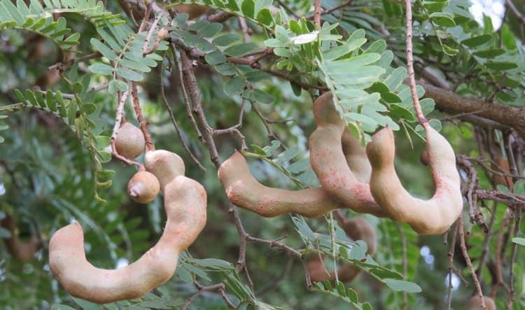 Вот так выглядит тамаринд в природе, во время роста на дереве.