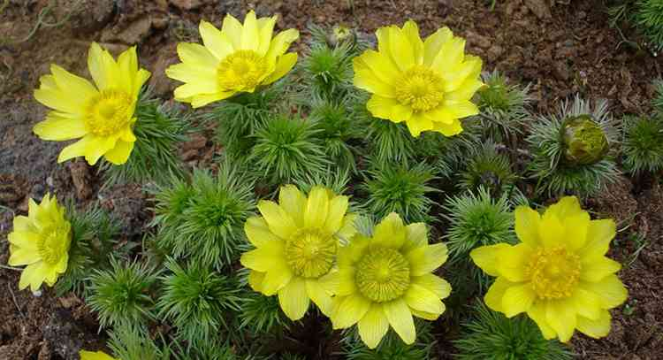 Адонис весенний полезные свойства растения
