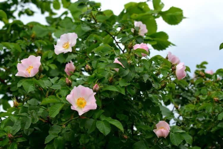 Помимо своих полезных свойств, растение может похвастать и красотой, особенно в период цветения.