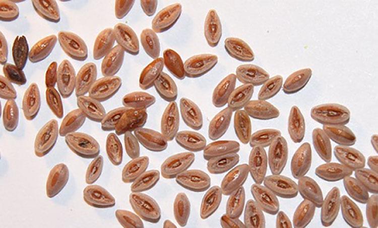 Подорожник как собирать семена