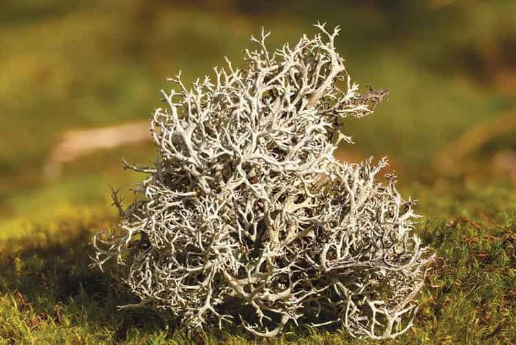 На фото вы можете увидеть, как выглядит исландский мох.