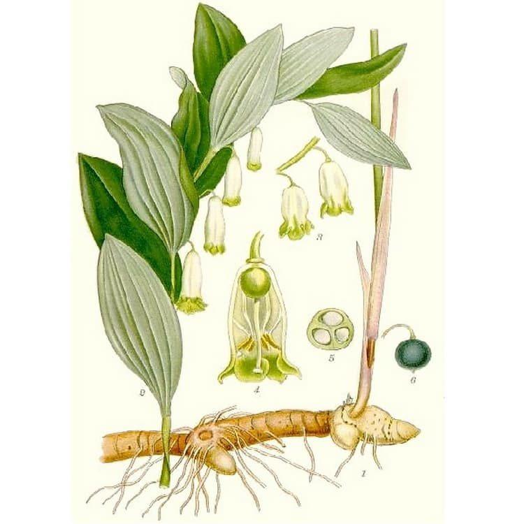 Купена: лечебные свойства и противопоказания, польза и вред