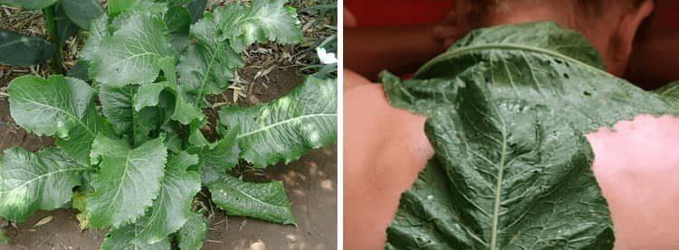 Как применять листья хрена при радикулите