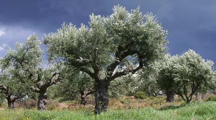 Олива и запрет на её использование