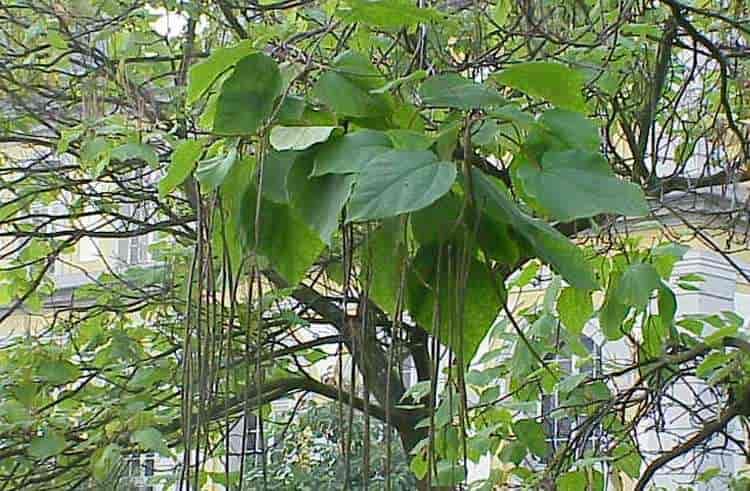 растение в принципе неприхотливо и широко используется в ландшафтном дизайне.