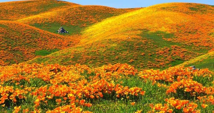 В Калифорнии этими прелестными цветами покрыты целые поля.