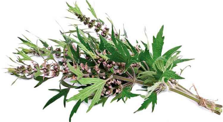 Пустырник применение травы растения