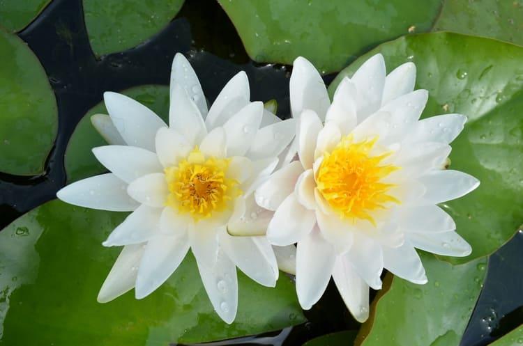 Кувшинка это не просто украшение водоемов, а целебное растение, обладающие множеством полезных свойств.