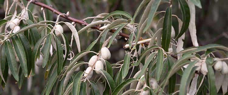 Полезные свойства растения лох