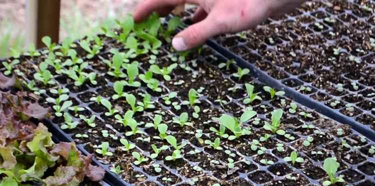 Листья салата как вырастить дома