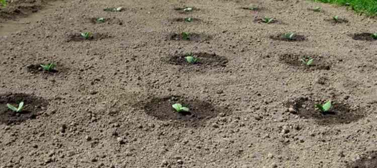 Выращиваем патиссоны дома