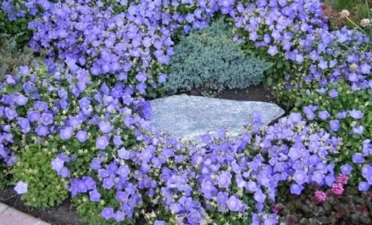 О пользе колокольчика знают немногие, в то время как его вовсю используют в качестве декоративного растения.